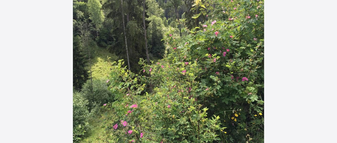 Roser i ravinelandskap i landskapspark.