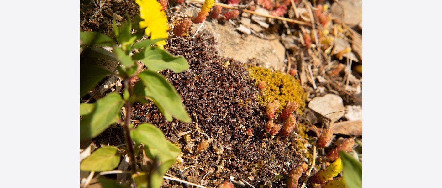 Stjertmose – en rødlistet sjelden moseart. Foto: Kirsti Reinsberg Mørch